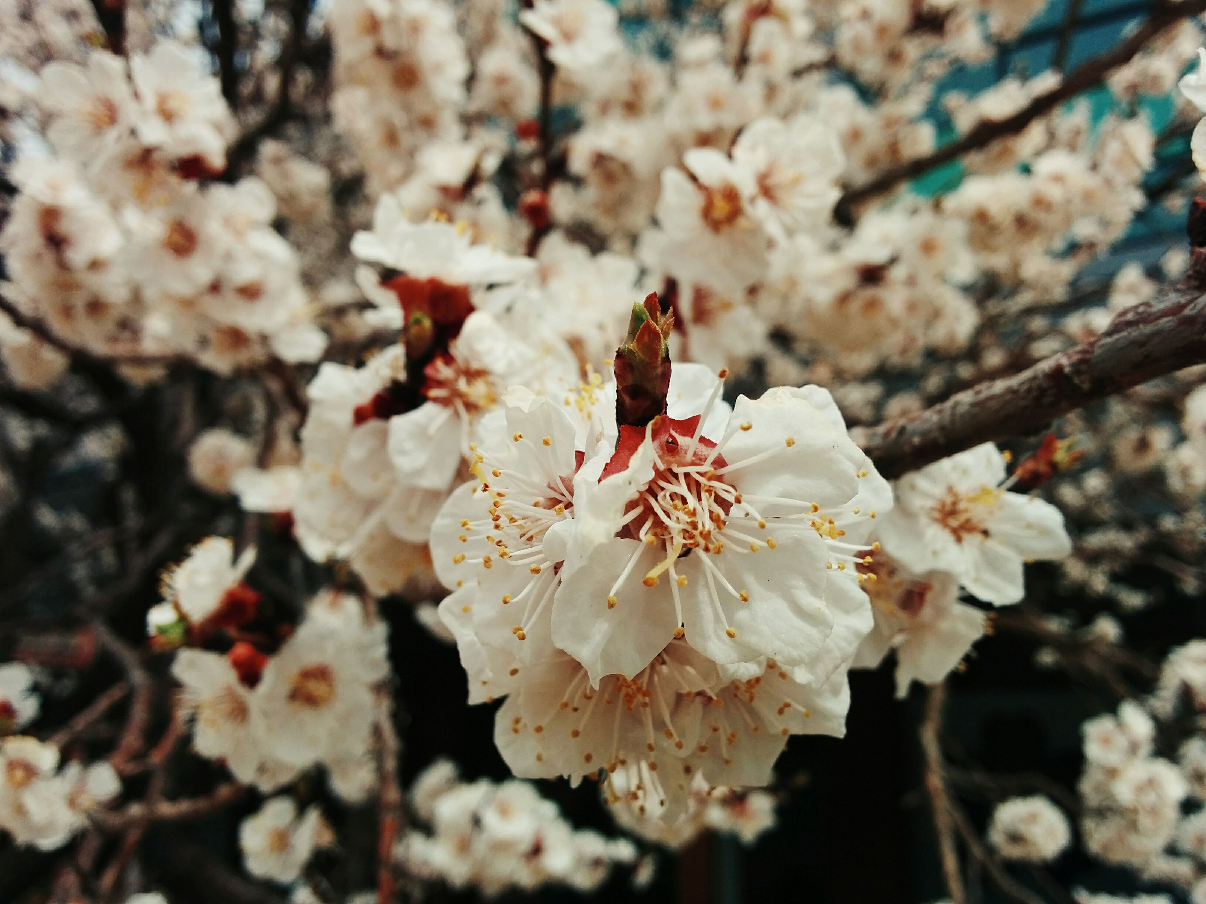 flower, fragility, petal, freshness, cherry blossom, growth, white color, focus on foreground, beauty in nature, flower head, tree, close-up, nature, branch, blossom, cherry tree, in bloom, blooming, springtime, stamen