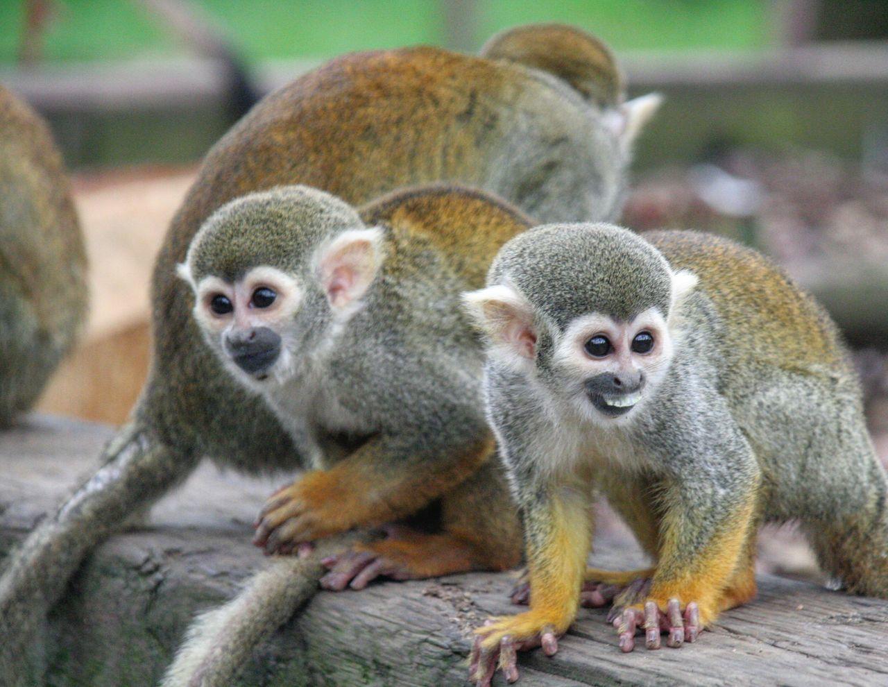 squirrel monkey Animal Wildlife Animal Themes Monkey Animals In The Wild Togetherness Nature Squirrel Monkey Eyeem Market Trending Photos Popular EyeEmGalley EyeEm Gallery EyeEmBestPics EyeEmNewHere EyeEm Team