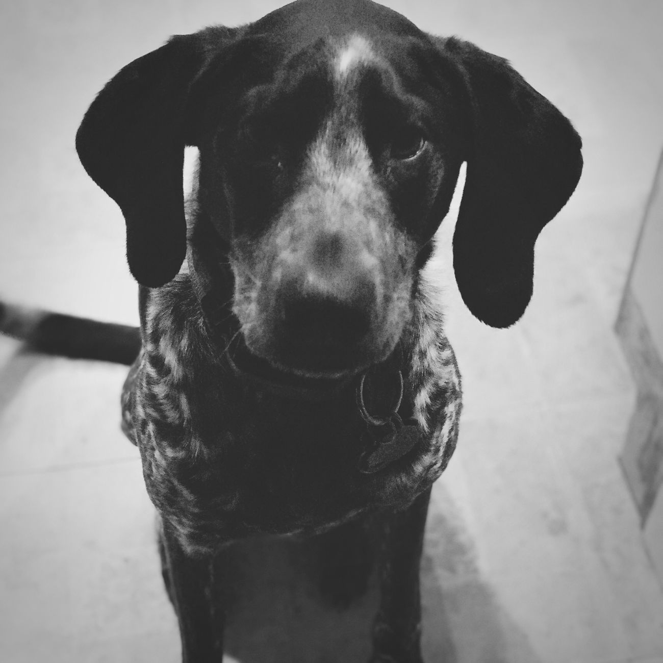 MyBoy Blackandwhite Photography Lovemyfurbabies Dog Pointer Guard Dog