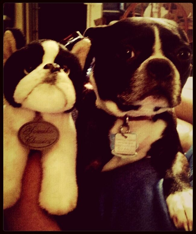 Playing With The Animals Boston Terrier Cheese! Taking Photos