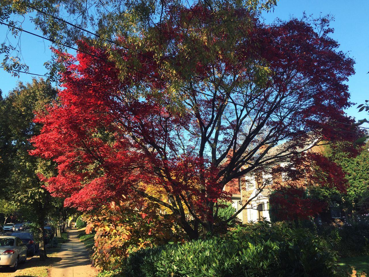 Washington, D. C. Tree Beauty In Nature Autumn Eyeemphotography EyeEm Best Shots Colors Of Autumn Eyeemcollection Showcasedecember