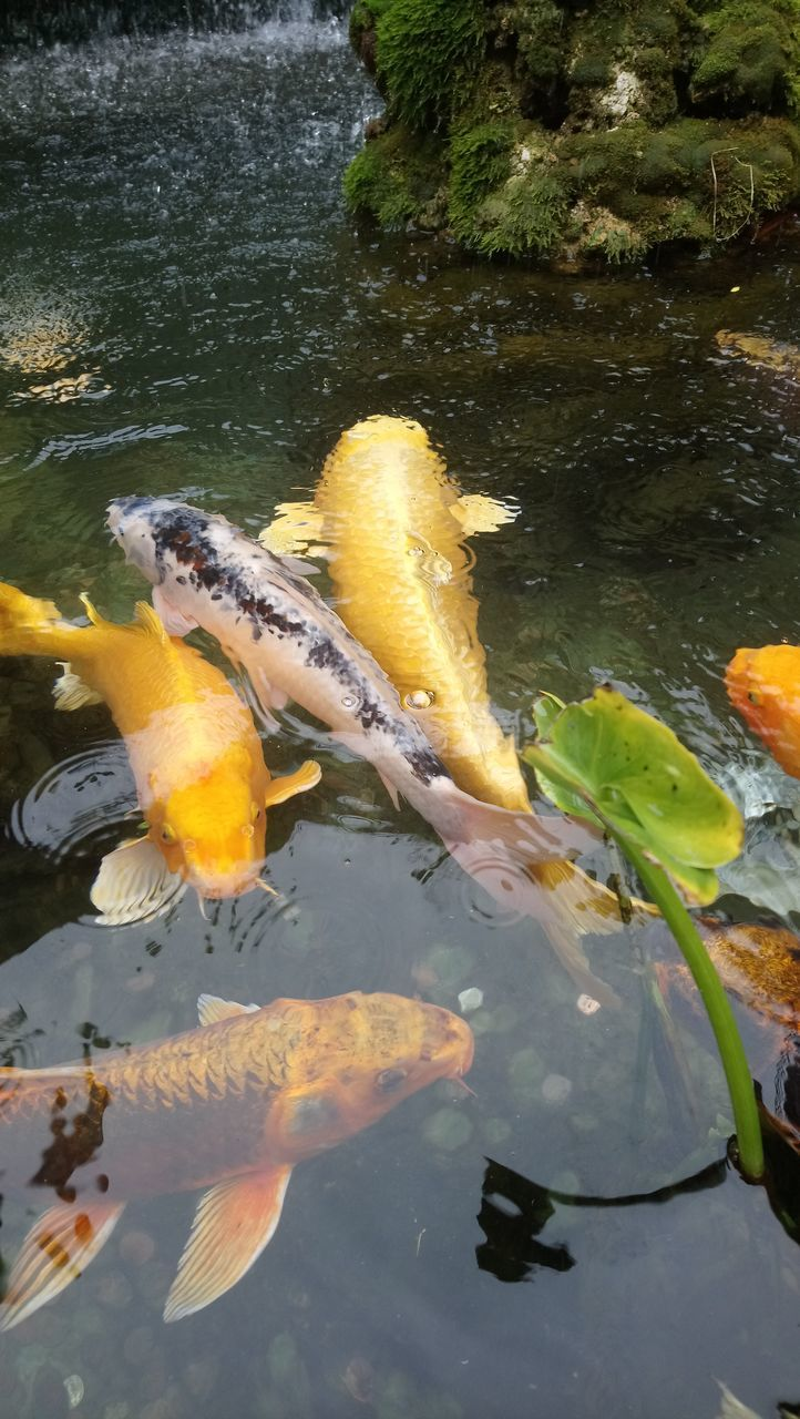 water, pond, waterfront, fish, koi carp, swimming, animals in the wild, carp, animal themes, nature, outdoors, day, river, floating on water, yellow, no people, sea life, close-up