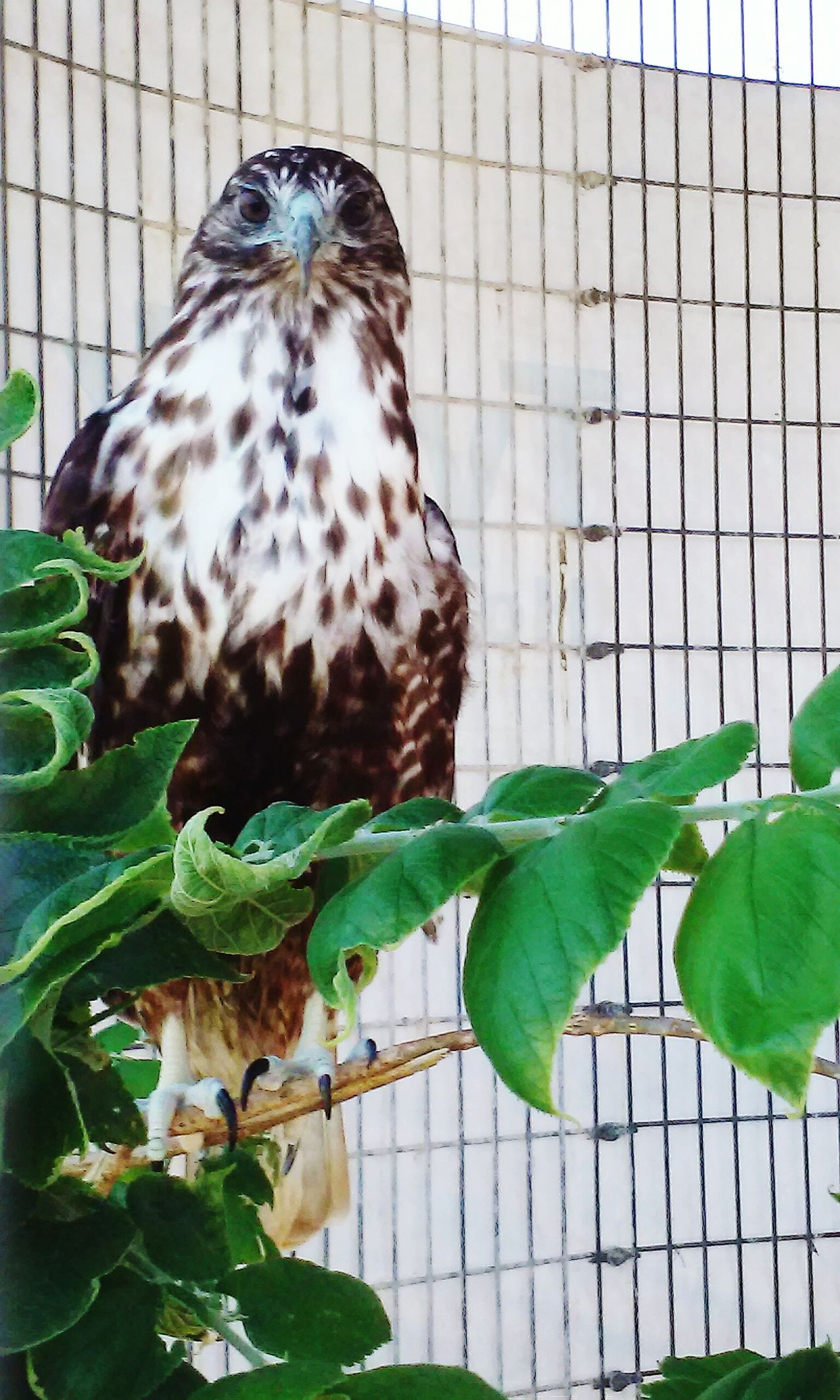 Beautiful stock photos of hawks, Animal Themes, Animals In Captivity, Animals In The Wild, Cage