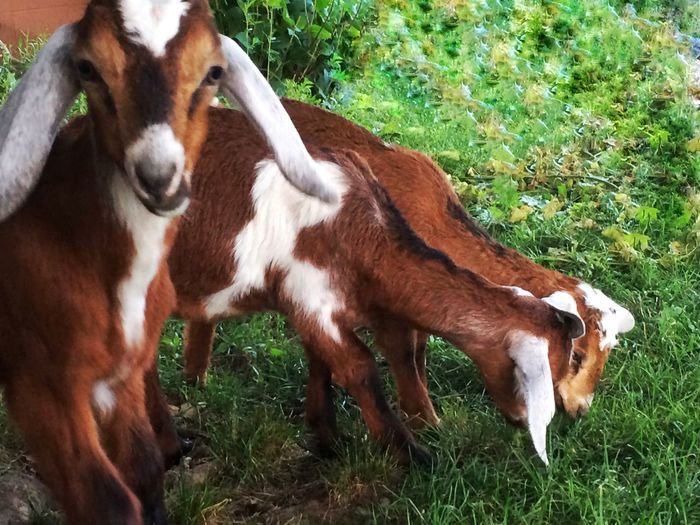 Baby Nubian dairy goat Domestic Animals Animal Themes Mammal Grass No People Livestock Day Outdoors Nature Close-up Grazing Baby Goats Baby Goat Goats Kid Kid Goat Goat Farm Animals Dairy Goat Dairy Farm Life Livestock