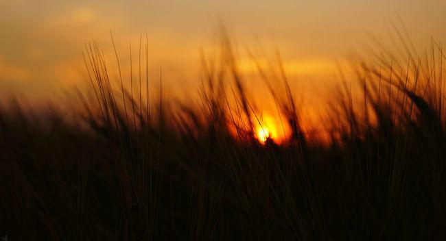 Barley Barley Field Beautiful Sunset Central Wheatbelt Farm Glowing Nature Outdoors