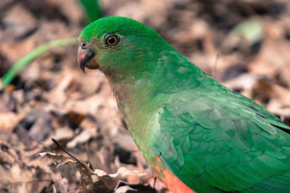 Female Australian king-parrot Alisterus scapularis Alisterus Scapularis Australian King Parrot King Parrot Birding Sony Photography Sigma Lenses Sigma Moment Wildlife Close-up Outdoors Eyeemphoto Amazing Feathers Feathers Natural Beauty