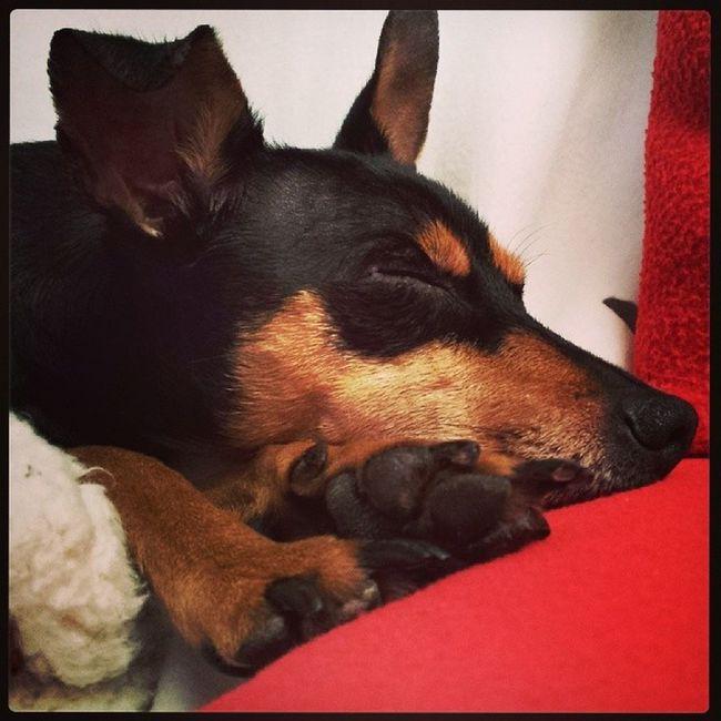 Minipinscher Minipin Cute Doll Dog Dogoftheday Happy Pinscher Pincher Minipincher Zwergpinscher Love Puppy Pet Audrey