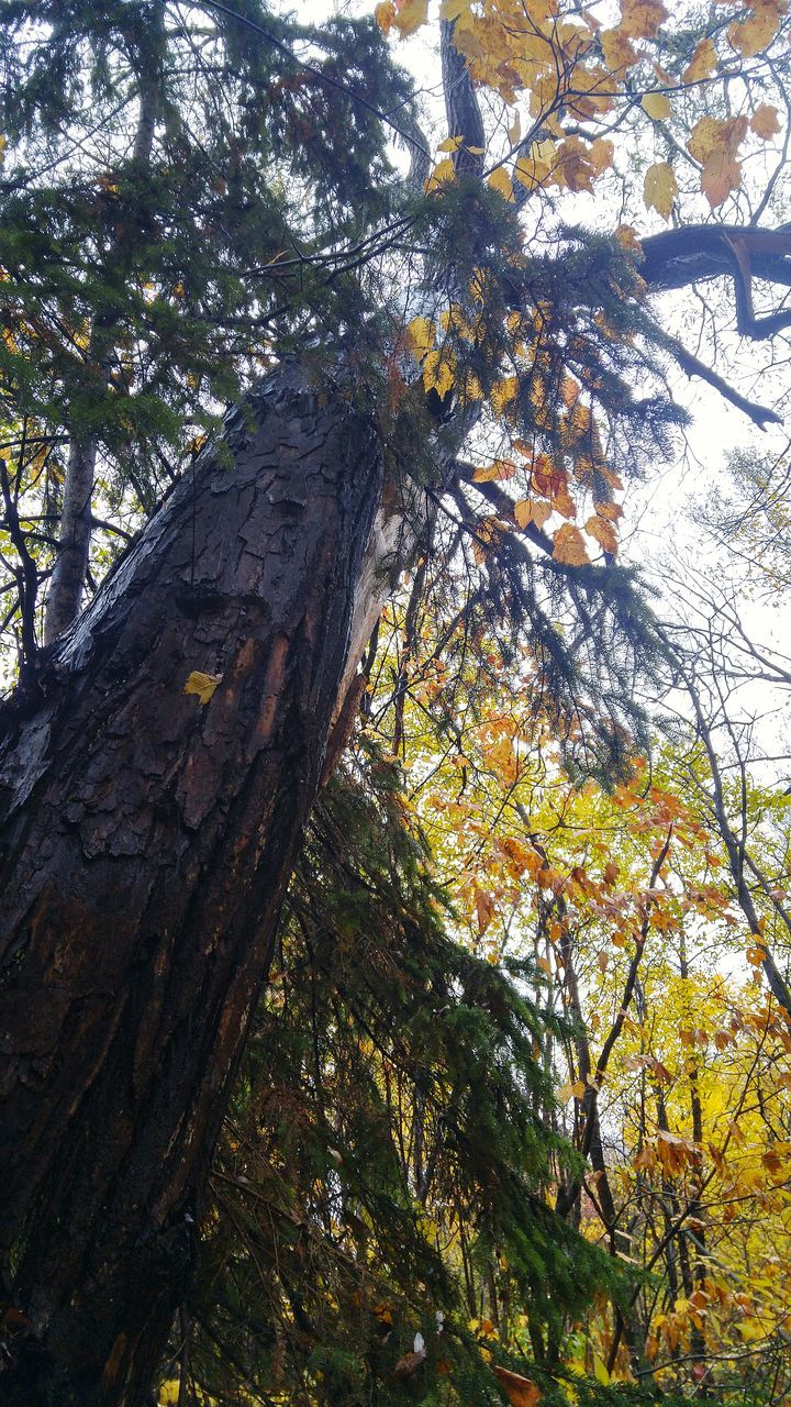 tree, nature, growth, branch, low angle view, autumn, tree trunk, day, no people, beauty in nature, tranquility, outdoors, forest, scenics, leaf, sky