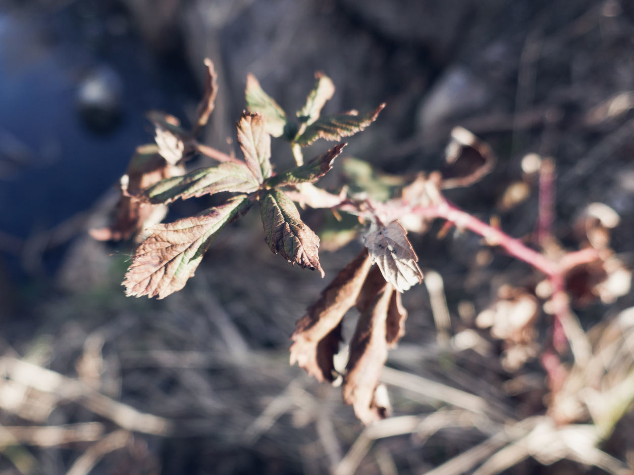 nature, dried plant, dead plant, outdoors, no people, plant, day, growth, close-up, beauty in nature, branch, fragility