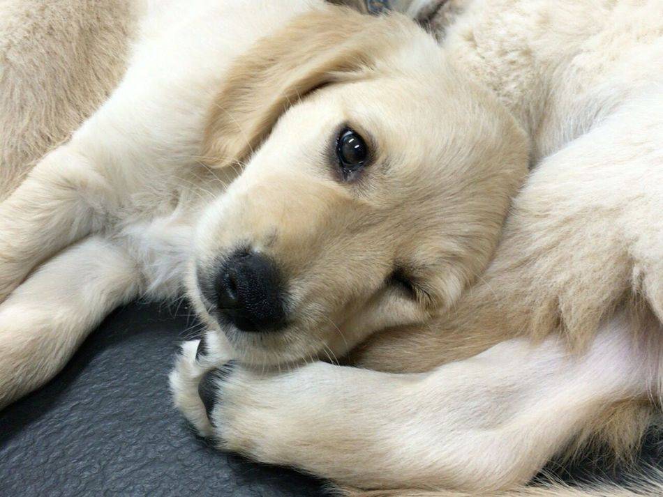 ねむねむ(_ _).。o○ Dog Puppy Puppy Love Golden Retriever Animal Cute Young Animal Close-up Looking At Camera Indoors  Guide Dog For The Future Wink Hello World Noedit Nofilter No People No Filter No Edit/no Filter No Flash