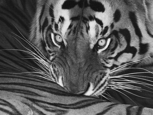 tiger Tiger Tiger Face Animal Nature Photography Naturelovers Animal Themes