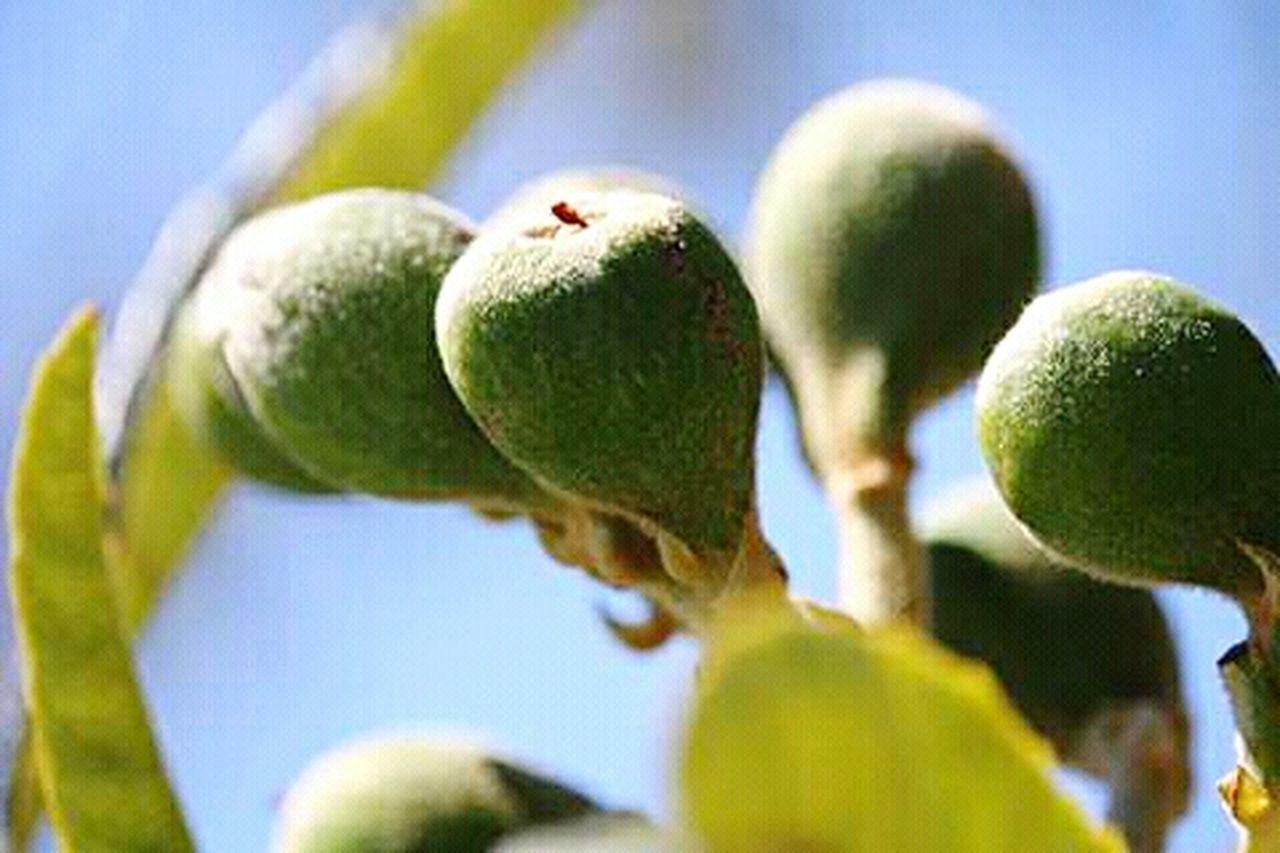 Brebes Brebas Higos Tree Arboles , Naturaleza Fruto