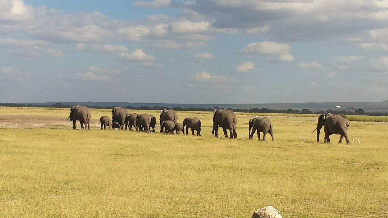Elephants in Kenya African Elephant Animal Wildlife Nature No People Sky Landscape Travelling African Safari Kenya Day