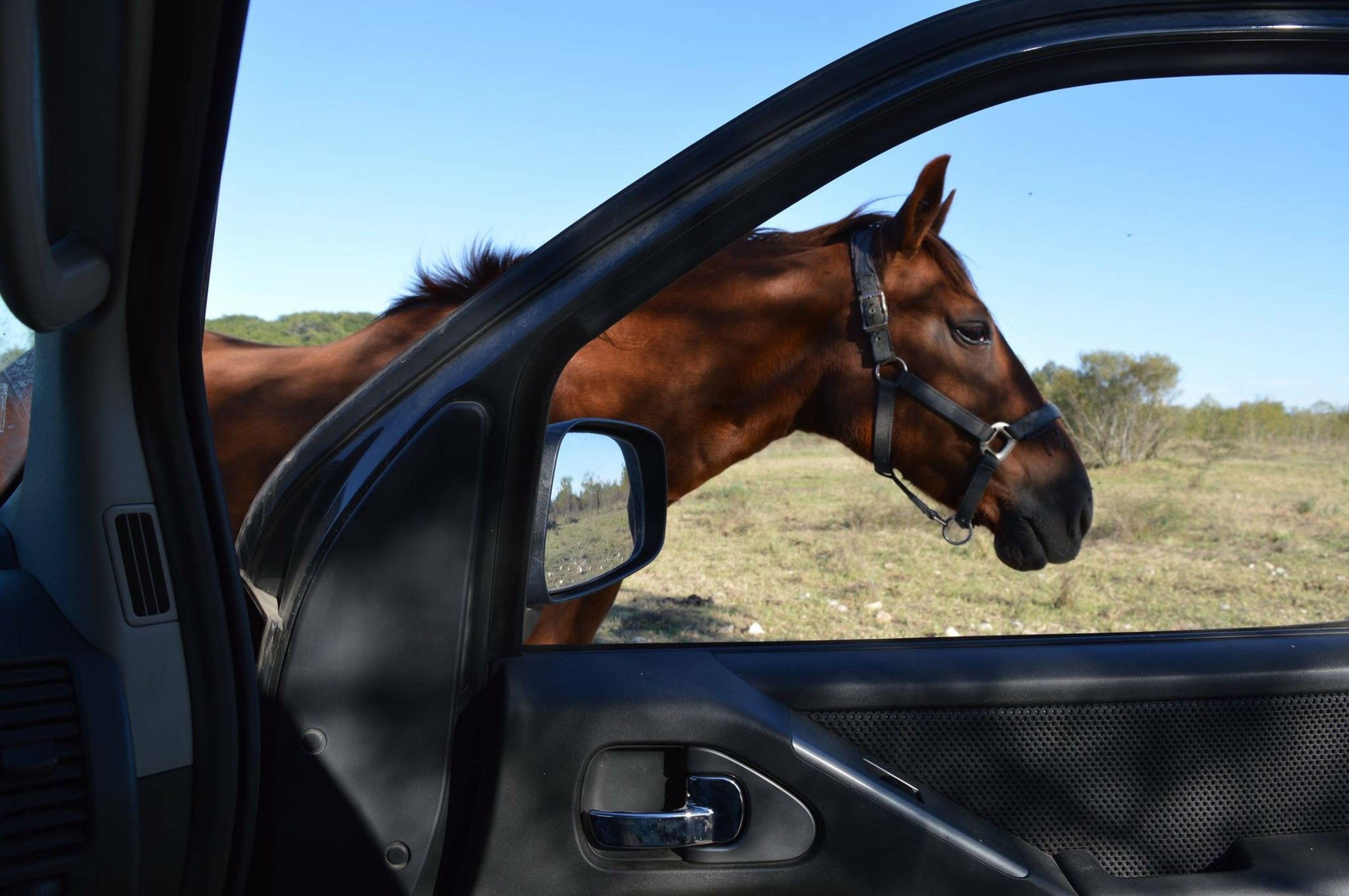 transportation, land vehicle, mode of transport, car, domestic animals, horse, animal themes, one animal, mammal, part of, clear sky, close-up, sky, cropped, sunlight, side-view mirror, vehicle interior, no people, day, animal head