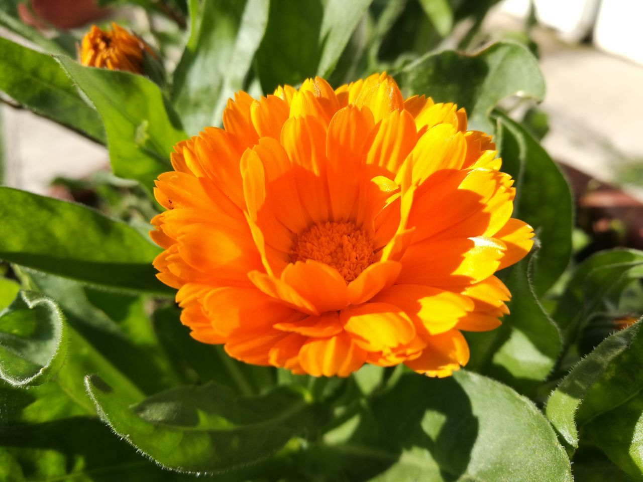 Beauty In Nature Calendula Flower Medicinal Plant Yellow Flower Green Background Shiny