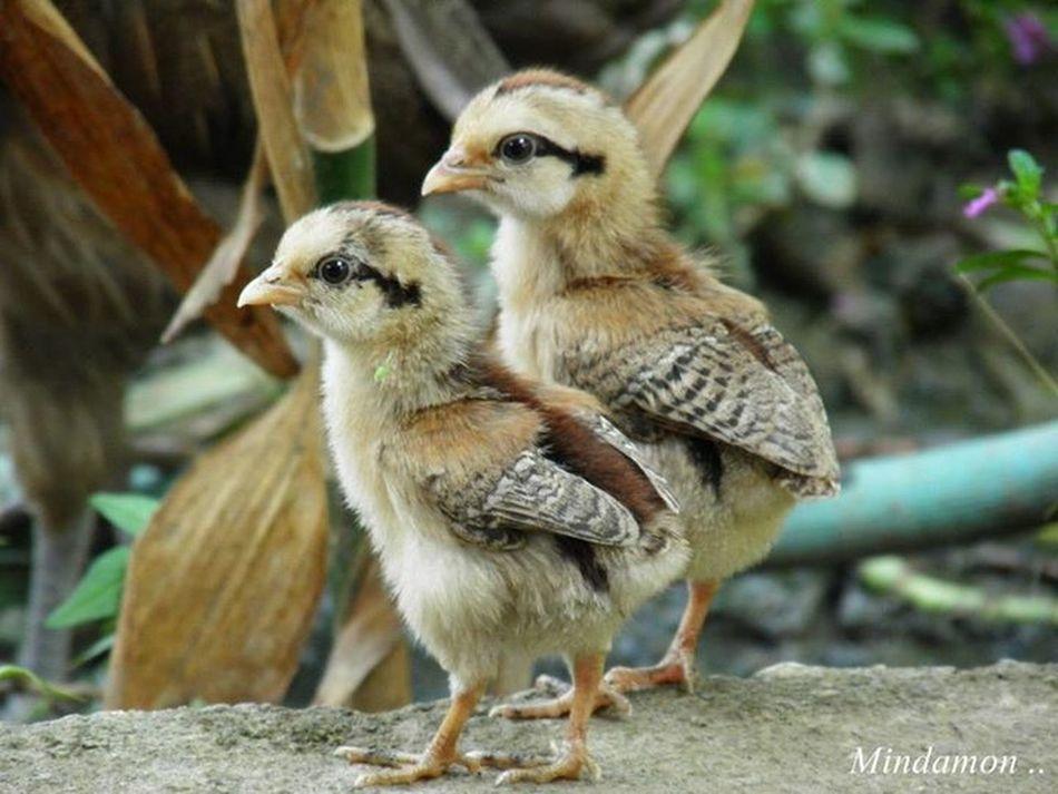 @ South Africa <3 Little Chicken