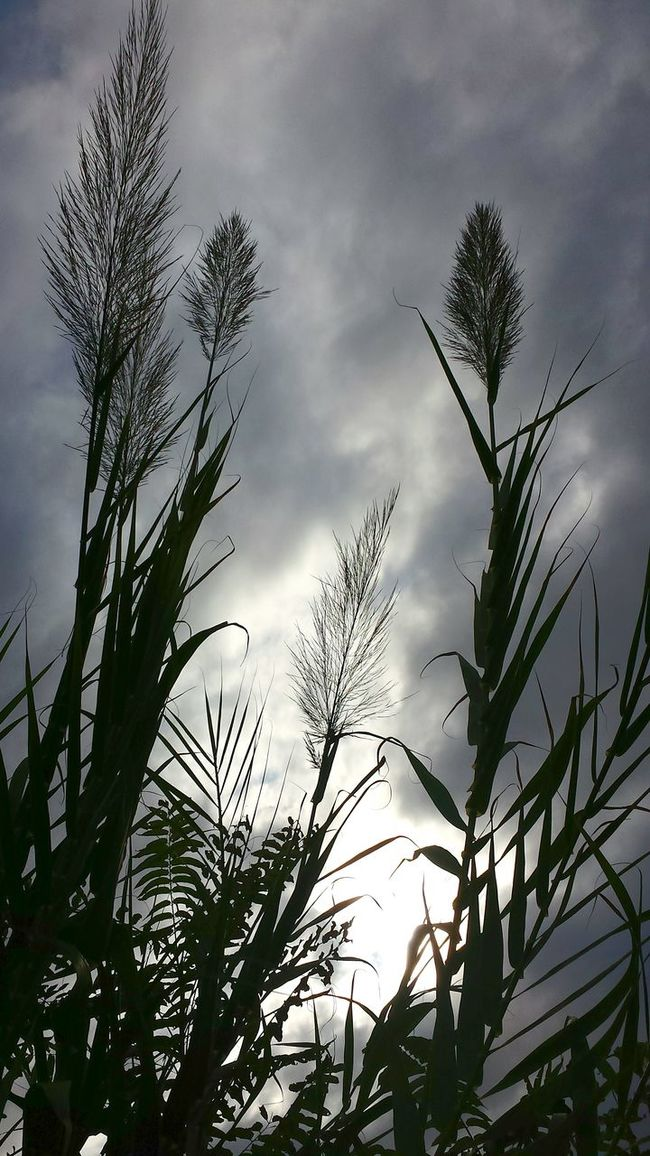 Windy Weather Gegenlicht Giant Reed Giant Reed Against Dark Cloudy Sky Contre-jour Shot Against The Light Dramatic Light Dramatic Sky Landscapes With WhiteWall Things I Like