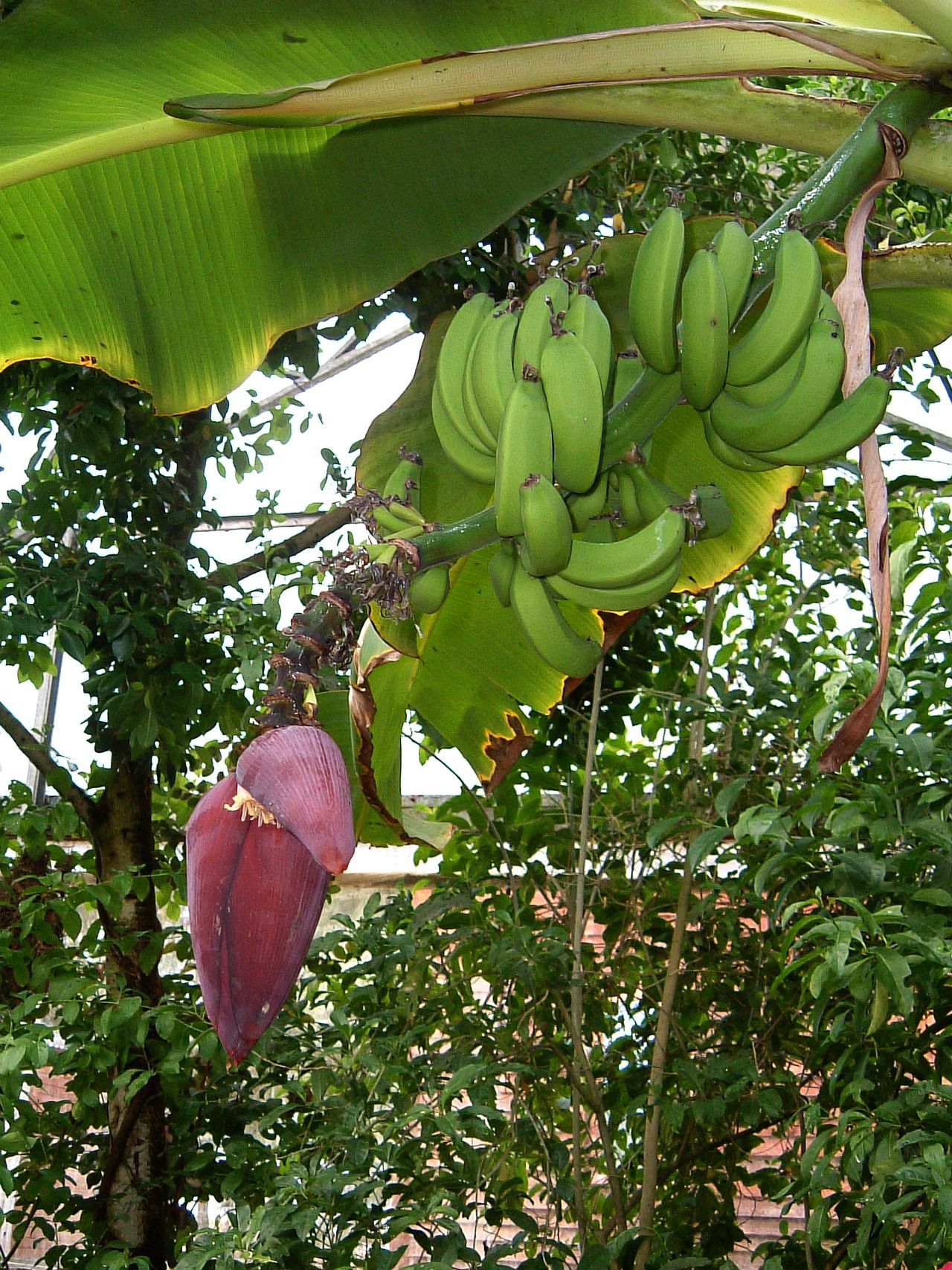 Banana Hand ~ Africa Agriculture Banana Banana Tree Beauty In Nature Day Durban Flower Food Food And Drink Freshness Fruit Green Color Growth Healthy Eating Leaf Low Angle View Natal Nature No People Outdoors Tree Tropical Climate Tropical Paradise Tropical Plants