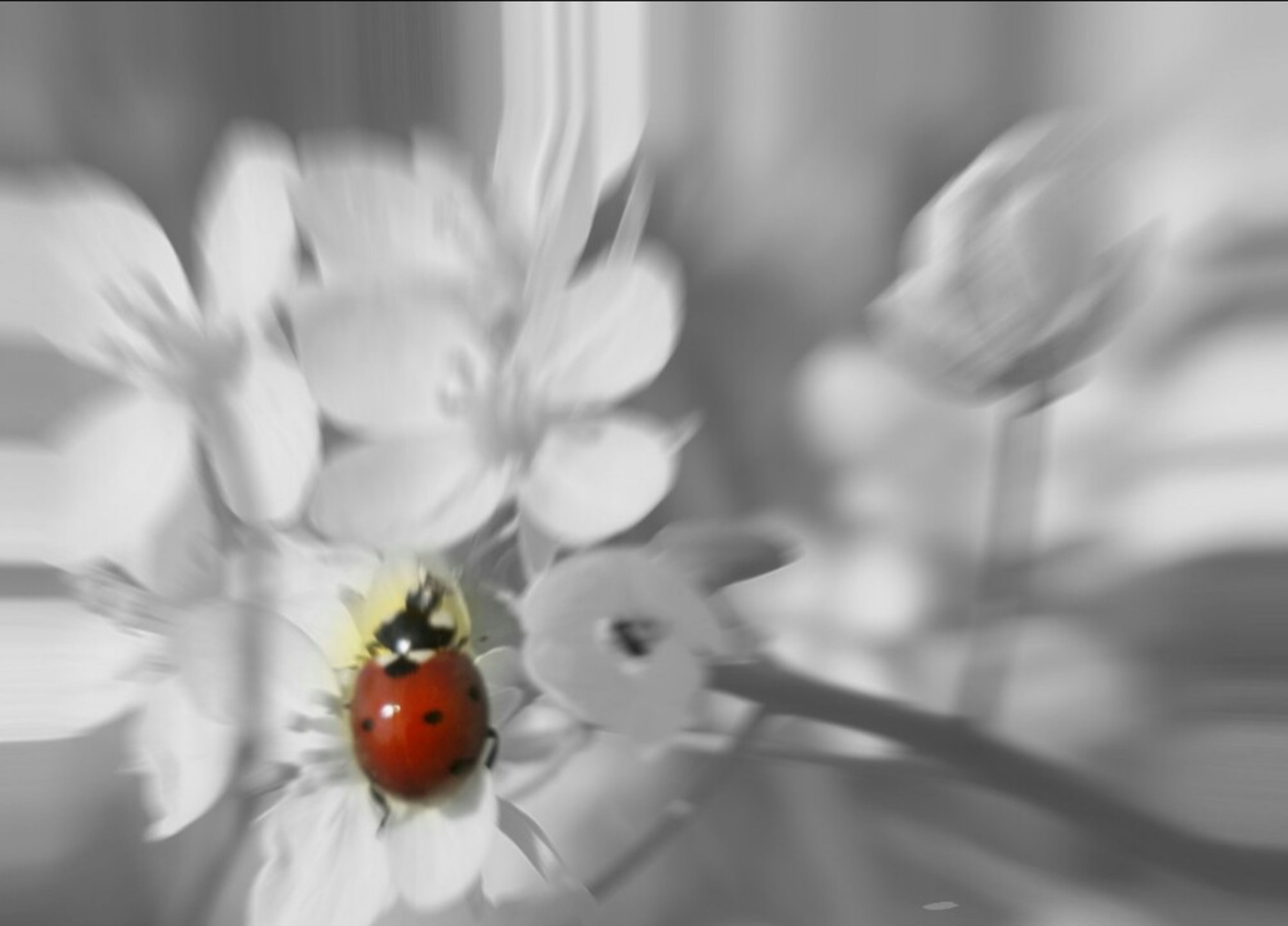 flower, close-up, freshness, insect, fragility, focus on foreground, selective focus, nature, ladybug, animal themes, beauty in nature, red, petal, indoors, growth, plant, no people, bud, white color, day