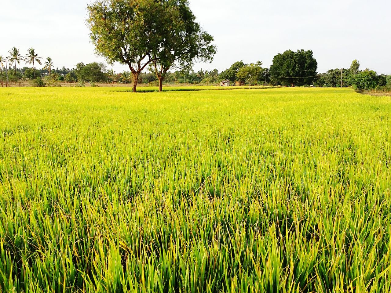 tree, field, agriculture, growth, nature, landscape, green color, farm, tranquility, tranquil scene, crop, beauty in nature, scenics, grass, no people, outdoors, day, rural scene, rice paddy, cereal plant, sky