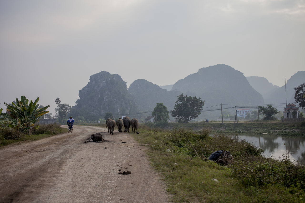 water buffalos Authentic Exploring Journey Landscape Mountain Range Nature Outdoors Photography Photostories Scenery Travel Travelphotography Vietnam Wanderlust Water Buffalo On The Way