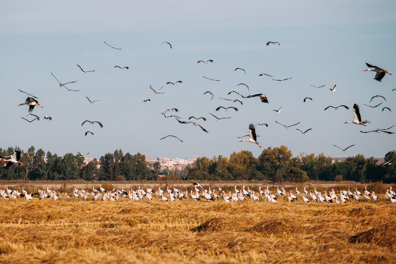 Agriculture Animal Themes Animal Wildlife Animals In The Wild Bird Day Flock Of Birds Flying Large Group Of Animals Migrating Nature No People Outdoors Scenics Sky Stork
