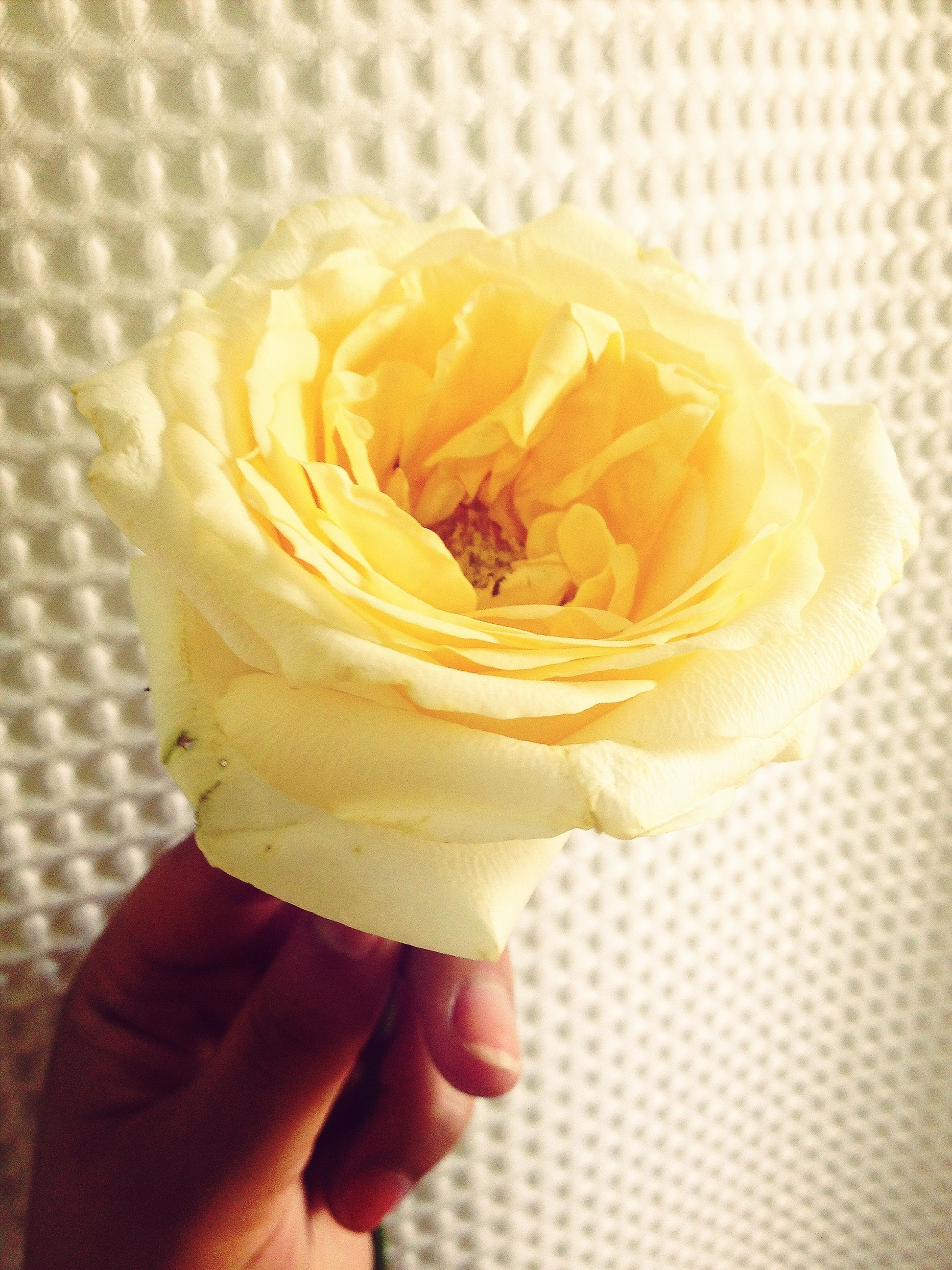 flower, person, petal, holding, close-up, fragility, indoors, flower head, freshness, single flower, part of, cropped, rose - flower, focus on foreground, human finger, lifestyles, unrecognizable person