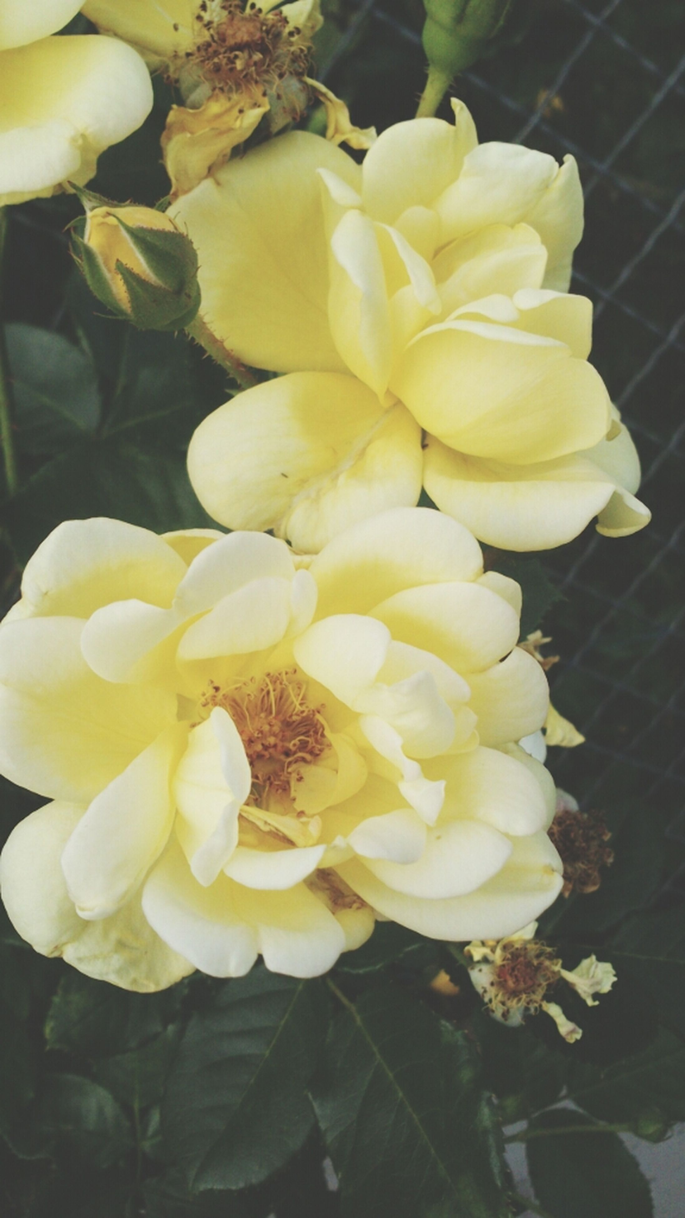flower, petal, flower head, freshness, fragility, yellow, beauty in nature, growth, blooming, close-up, nature, plant, white color, rose - flower, in bloom, focus on foreground, blossom, high angle view, no people, leaf