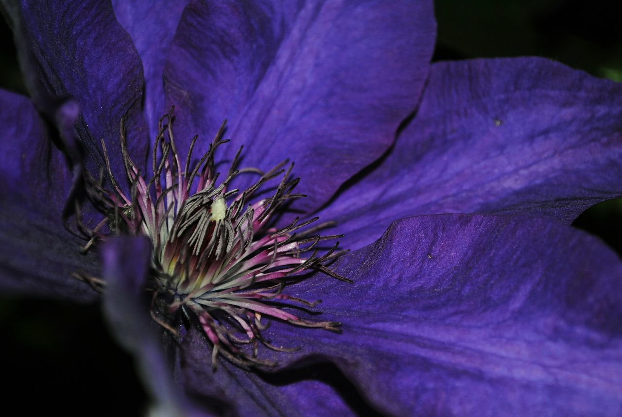 Clematis Clematis Flower Clematisphotography Flower Flowers Flower Head Flower Collection Purple Stamen Plant Nature Beauty In Nature Naturelover Close-up Macro Maximum Closeness