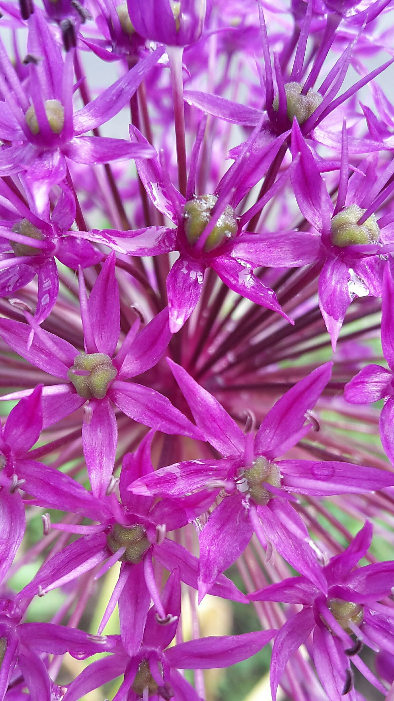 Flower Purple Beauty In Nature Nature Plant Growth Pink Color Freshness No People Fragility Flower Head Springtime Day Outdoors Close-up Allium Allium Flower Allium Giganteum Blume Lila Frühling Endlich Frühling