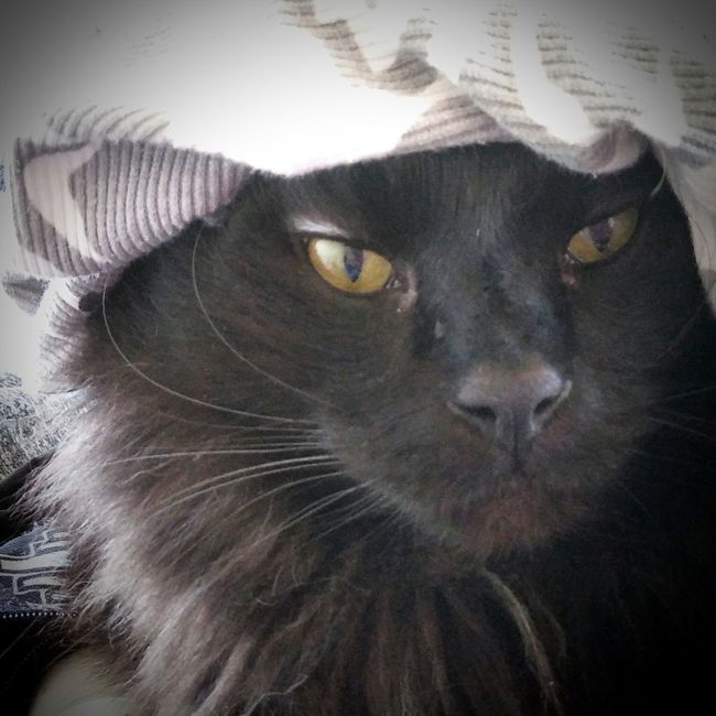 My handsome Teddiebear 💙💜💙 Hanging Out Taking Photos Check This Out Cheese! Hello World Hi! Blackcatsrule Blackcats Precious Little Moments Loveallanimals ❤️🔥❤️ Blackcatbeauties Paws And Purrs Catlovers Hayward Ca Catstarcat Animal Photography Bayareaphotography Catsofeyeem Cat Eyes Beautiful Eyes Pawsome Animals Catsoftheworld