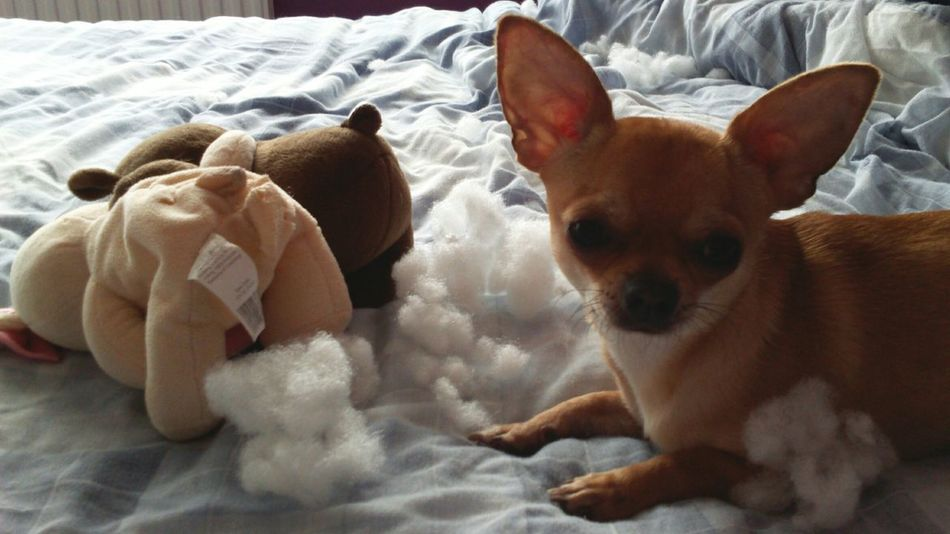 It Wasn't Me It Wasnt Me I Didn't Do It! I Didnt Do It Chihuahua Naughty Dog Naughty Boy Guilty Not Guilty Guiltydog Little Dog Small Dog Tiny Dog Guilty Face Soft Toy Teddy Bears Stuffing Stuffed Animals Stuffed Toy Sorry Im Sorry Chihuahua Puppy Chihuahua Lovers Dog One Dog