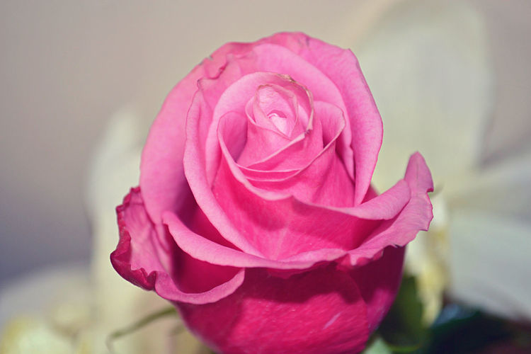 Bloom. Beauty In Nature Close-up Flower Flower Head Freshness Growth Nature No People Petal Pink Pink Color Pink Roses Rose - Flower Rose Button Rose Petals Rose🌹