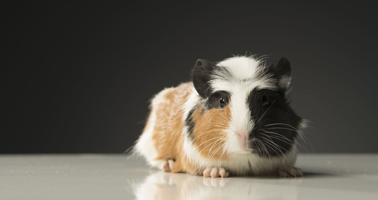 Animal Themes Brown Close-up Creature Ears Furry Friends Guinea Pig Guinea Pigs Guineapig Little Feet Mammal Multi Colored No People One Animal Orange Portrait Rodent Streetphotography Striped Striped Pattern White Wiskers