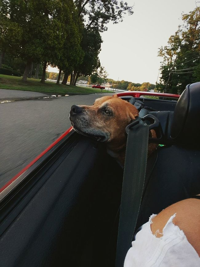 Took the pup for a ride. Dog Dakota  Puppy Old Dogs Rule Oldiesbutgoldies Oldie  Pitbull Jackrussel Park CarRide Dogslovecarrides Car Mustang Red