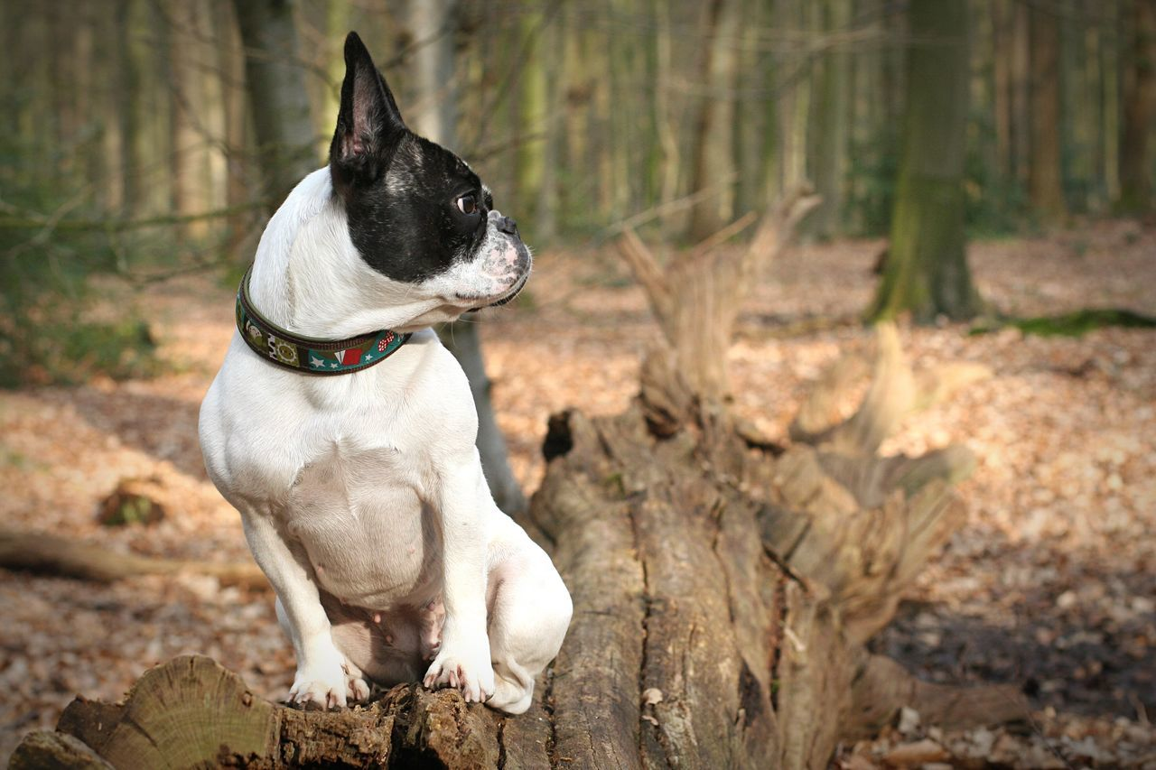 Dog In The Forest Hund Im Wald Französische Bulldogge  Wood Forest Wald Waldspaziergang Outdoors Outdoor Photography Wildenloh Oldenburg Dogs Frenchbulldog