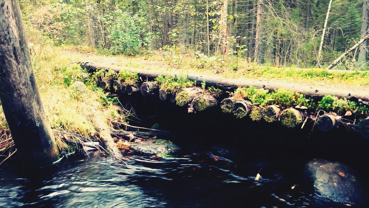 Majestic Copper River River Of Cognac Nature Tourism WoodLand DEEP FOREST Natura Zahodskoe Wood Bridge Saint Petersburg Russia