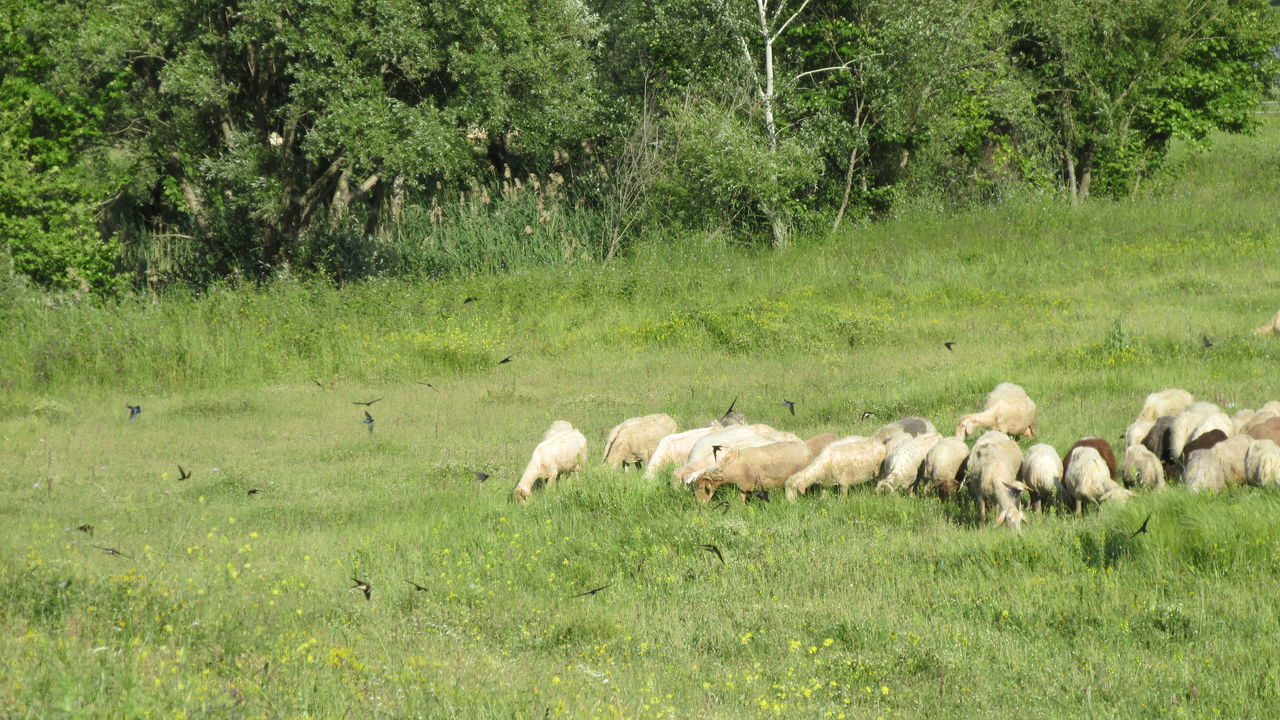 grass, animal themes, no people, nature, livestock, grazing, green color, mammal, day, domestic animals, growth, sheep, outdoors, large group of animals, tree
