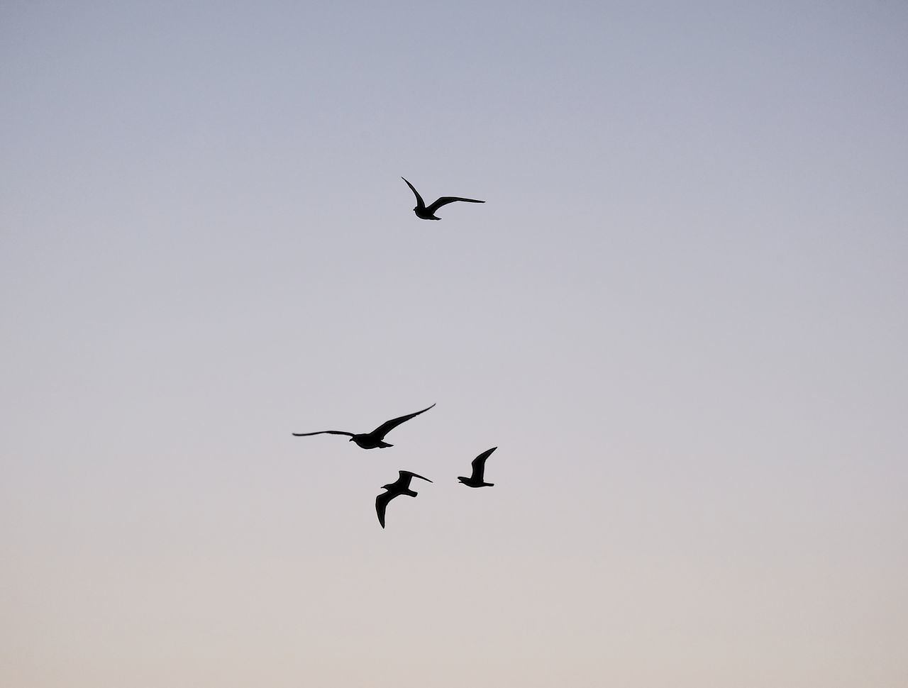 flying, animals in the wild, bird, animal themes, spread wings, mid-air, animal wildlife, low angle view, nature, copy space, clear sky, silhouette, outdoors, beauty in nature, no people, day, migrating, motion, togetherness, full length, sky