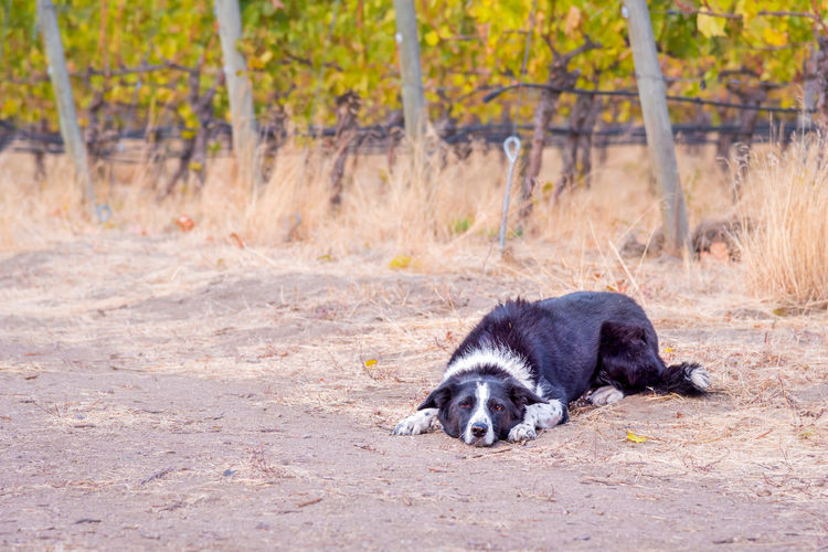 Border collie dog lying on ground with rows of grapevines in background Afternoon Autumn Autumn Colors Autumn Leaves Border Collie October Rural Animal Black And White Fur Countryside Cute Day Dog Fall Friendly Grapevines  Lying Down Mammal Nature Outdoors Pet Pets Playful Portrait Vineyard