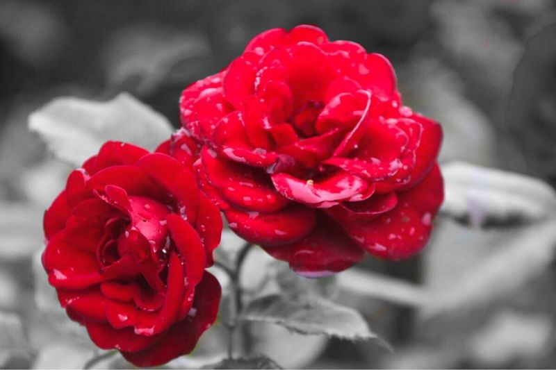 Red Flowers in the rain Red Flower Petal Nature Beauty In Nature Freshness Close-up Flower Head Plant Blooming No People Nature