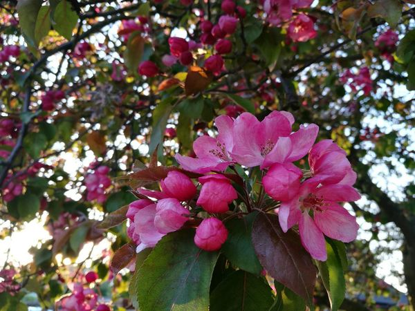 Pink Blossoms Blossoms  Buds And Blossoms Buds Bright Pink Flower Sun Behind Trees Sun Behind The Tree Beauty In Nature Nature Fragility Flower Springtime Outdoors Blossom Close-up Freshness Petal P9 Huawei Smartphonephotography Bright Pink Spring Sunny Afternoon Sunny Spring Day Street Tree Pink Color