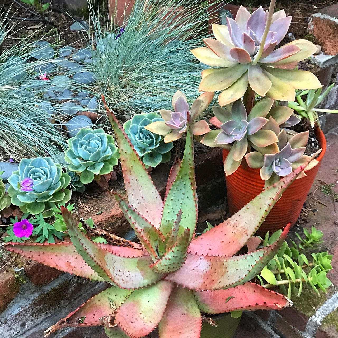 Growth Flower Plant Nature Cactus High Angle View Potted Plant Beauty In Nature No People Leaf Day Outdoors Green Color Close-up Fragility Prickly Pear Cactus Flower Head Freshness Aloe Succulents In My Garden Echeveria Crassula Open Edit