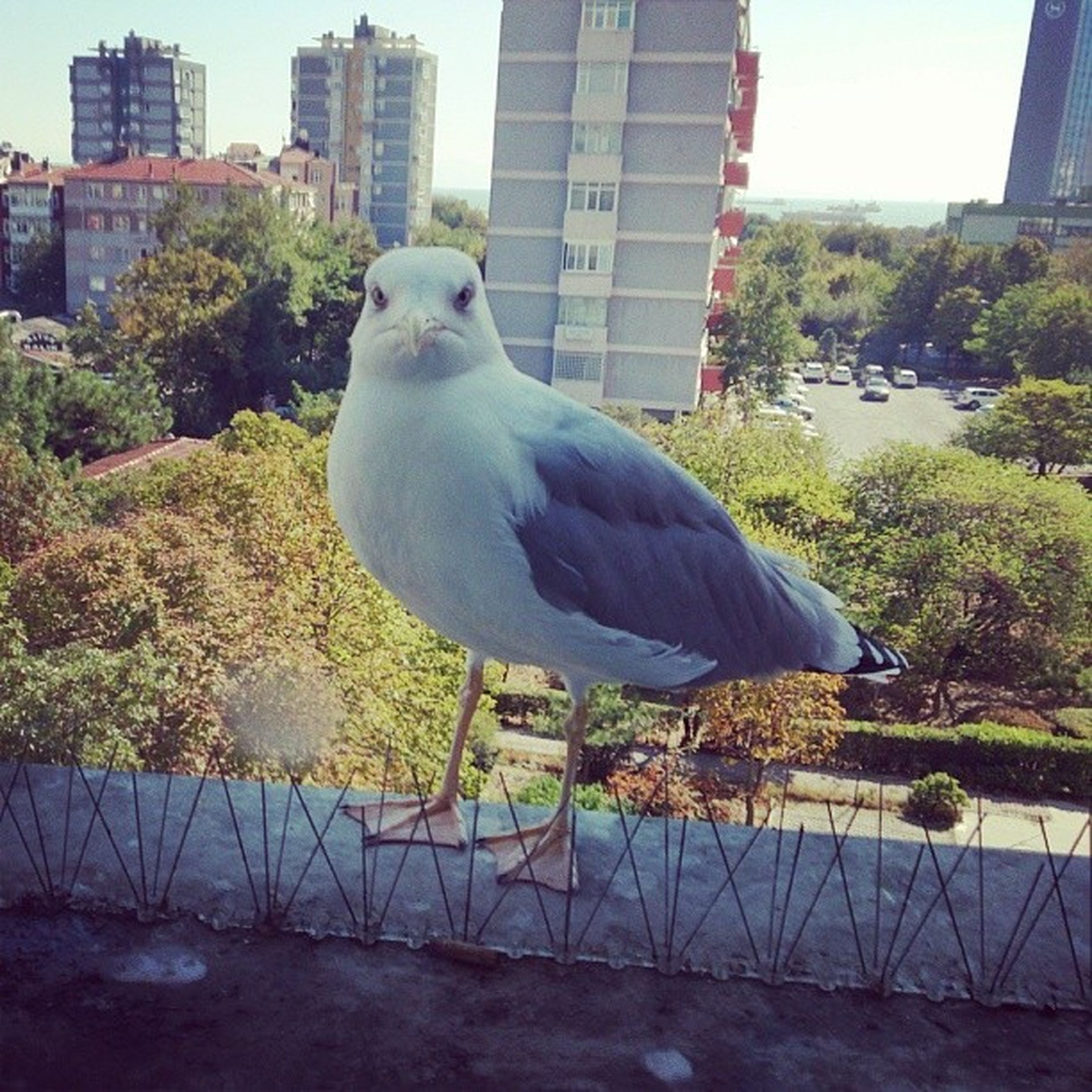 bird, animal themes, one animal, animals in the wild, wildlife, perching, building exterior, built structure, architecture, pigeon, seagull, full length, city, beak, tree, day, outdoors, feather, side view, no people