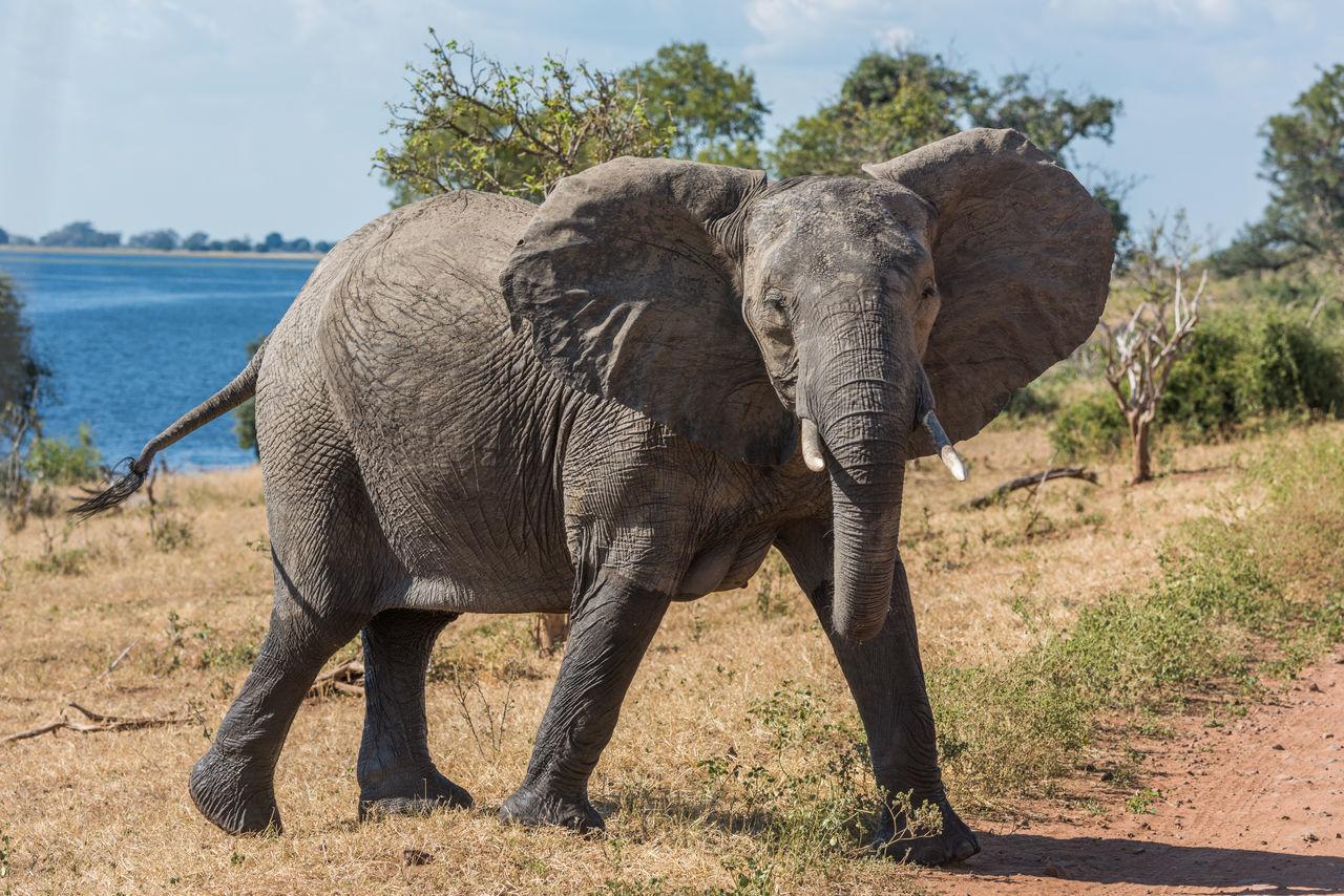 Beautiful stock photos of elefant, Animal Themes, Animal Wildlife, Animals In The Wild, Botswana