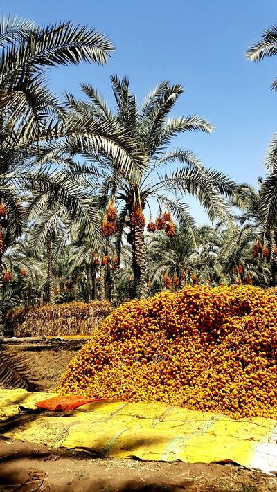 Day Outdoors Tree Sky No People Nature Datesfruits Dates Market Siwa Dates Countryside Dates Beautifully Sorted Dates Fruit Dates Dates Palm Factory Dates Tree Egyptian Countryside