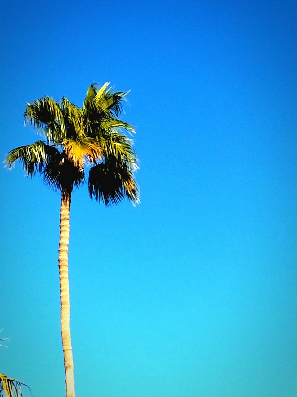 palm tree, blue, clear sky, tree, growth, low angle view, copy space, day, outdoors, nature, no people, beauty in nature, sky