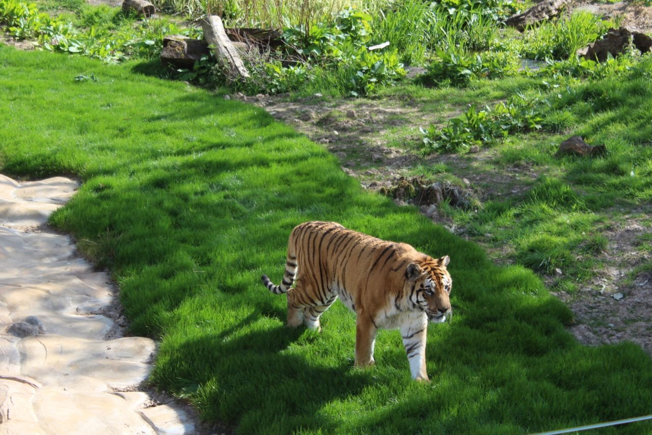 Tiger One Animal Tiger Animal Themes Animals In The Wild Mammal Day Animal Wildlife Green Color No People Grass Outdoors High Angle View No Filter
