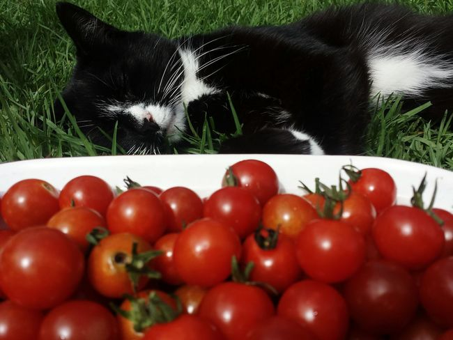 Red Tomato Healthy Eating Food Freshness Food And Drink Fruit No People Nature Close-up Day Outdoors Cat Felion Black Cat Organic Produce Gardener Gardening I Grew This Food And Drink EyeEm Best Edits Organic Growing Lifestyles Ready-to-eat Juicy Pet Portraits