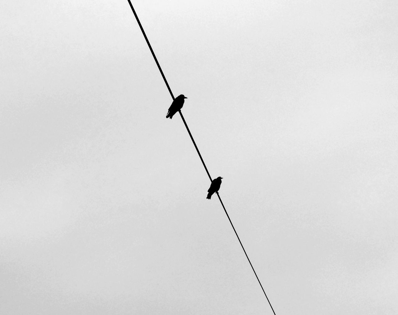 Crows Animal Themes Animals In The Wild Birds Birds In A Line Birds In The City Birds Silhouette Clear Sky Crow Crows Low Angle View Nature No People Outdoors Perching Raven Ravens Silhouette